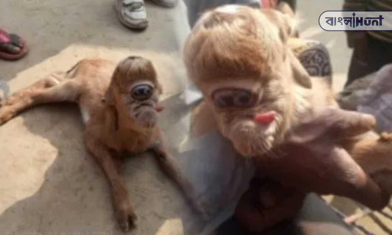 Viral photo: a goar kid has an eye on the forehead in Uttar Pradesh