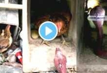 Photo of সন্তানদের বাঁচাতে বিষধর সাপের সঙ্গে লড়াই মুরগীর, ভাইরাল ভিডিও দেখে চোখে জল নেটিজনদের