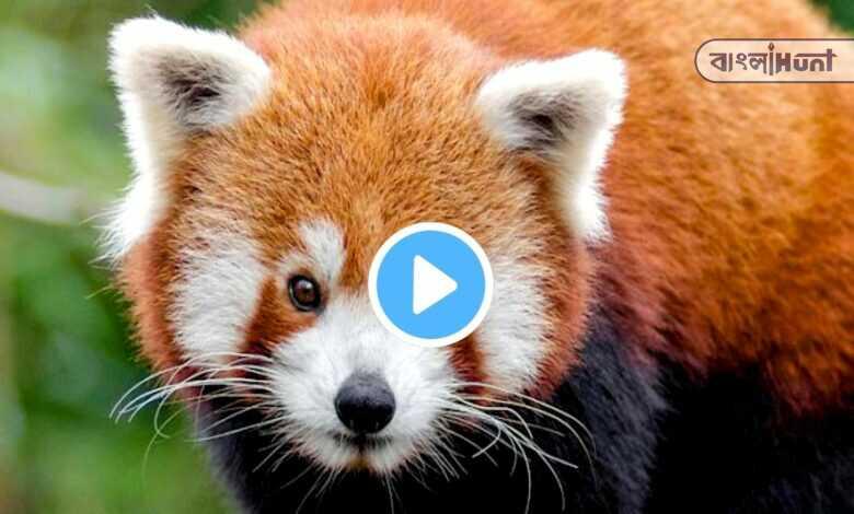 red panda cub was born in naidu zoological park at darjeeling