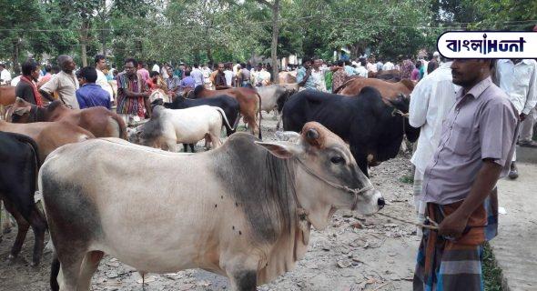local cattle 1 Bangla Hunt Bengali News