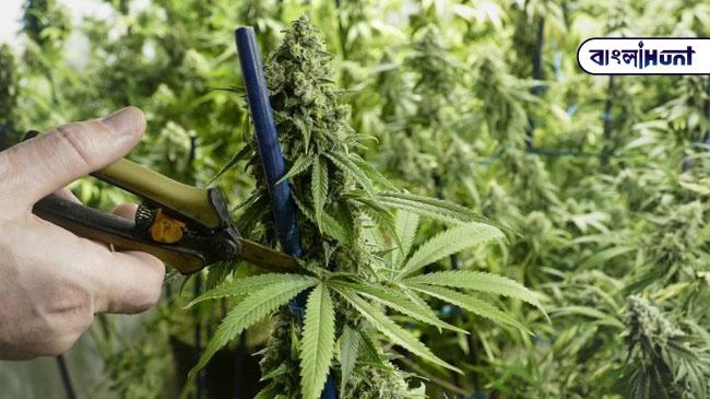 marijuana 0 Bangla Hunt Bengali News
