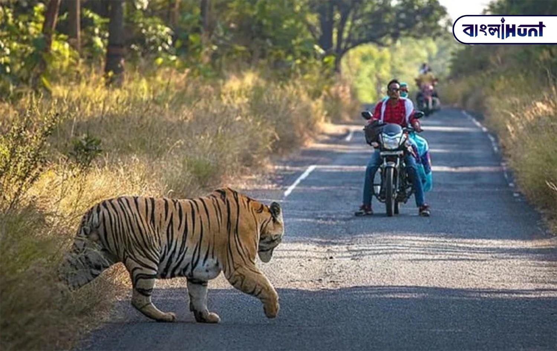 viral pic tiger reserve of maharashtra Bangla Hunt Bengali News